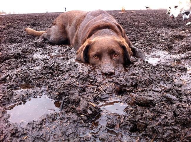 labrador dirt mud funny