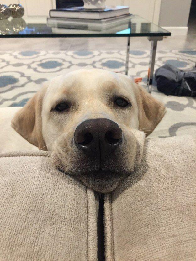 labrador face pics eyes