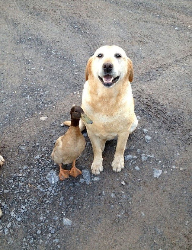 labrador friend duck