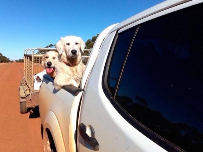 labradors pickup car travel ride