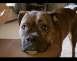 Lexi The Boxer Loves To Play. But When She Doesn't Get Attention, This Is What Happens…