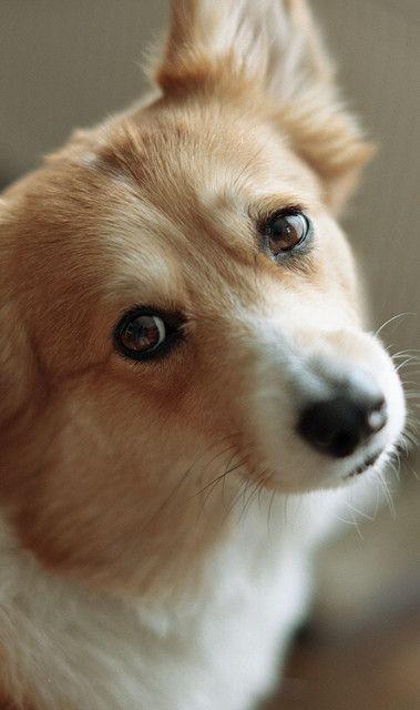 nice eyes corgi face pics
