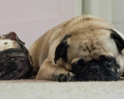 Pugs Snoring Will Make Smile, Guaranteed!