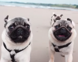 He Took Rescued Pugs To The Beach To Dance With Them. See What Happened…