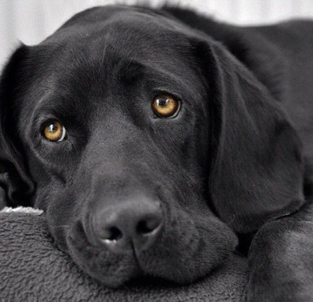 sad face eyes black lab photo