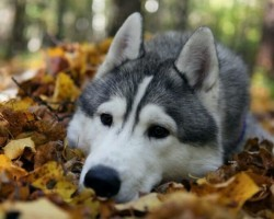 20 Things All Husky Owners Must Never Forget