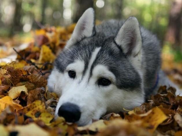 sad-husky-face-leaves.jpg