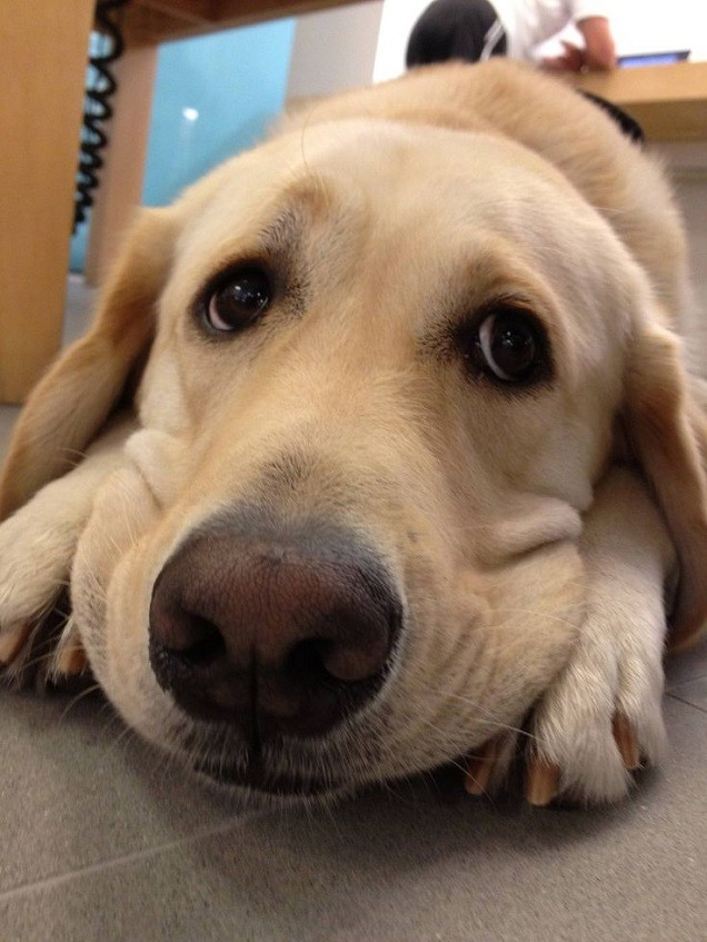 sad labrador face