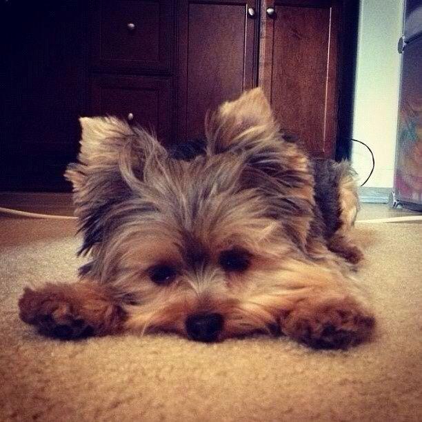 sad yorkshire terrier