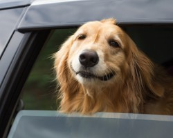 20 Things All Golden Retriever Owners Must Never Forget