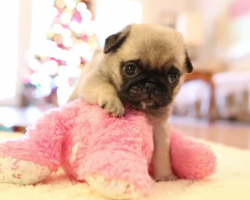 Pug Puppy Meets Stuffed Animal. My Heart Just Melted! I'm In Love!!