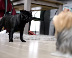 Pug Encounters Yorkie Statue. His Reaction? Priceless.