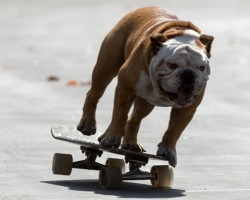 Tillman the Skateboarding Bulldog Is The COOLEST Dog EVER!!