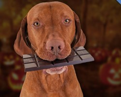 Chocolate Can Kill Your Dog. Here's WHY And What To Do If Your Dog Ever Eats It.