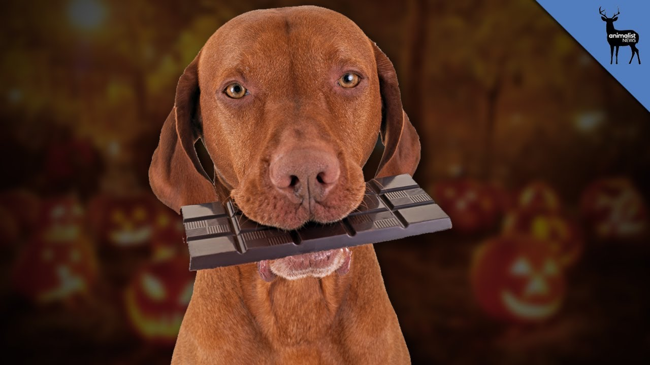 What Should You Do If Your Dog Eats Chocolate