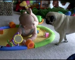 Clever Pug, Darling Baby. Their Adorable Interaction Will Make You Happy!