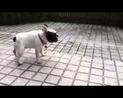 Frenchie Playing In The Rain Has Never Looked So Fun! What A Cutie!