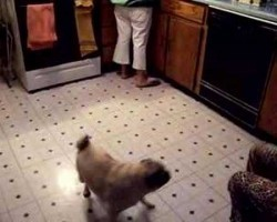 Ozzy The Pug Imitates The Blender