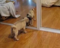 Pug Puppy Discovers Himself In The Mirror. His Reaction Is Priceless!