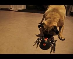 Pug vs Spider. Who Will Win?