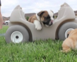These Cutest English Bulldog Puppies Will Make Your Day!