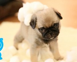 This Adorable Pug Puppy's New Favorite Activity Will Melt Your Heart!