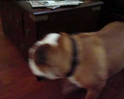 This Perpetual Motion Bulldog Is Unstoppable!