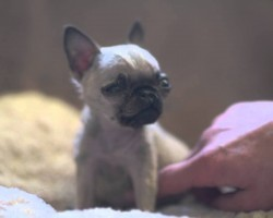 World's Smallest Pug?! Check Out How TINY She Is…