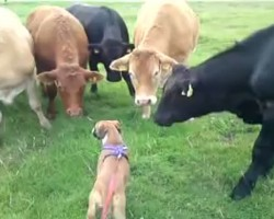 Boxer Puppy Greeted by Herd of Cows on Walk. It's AMAZING to See!