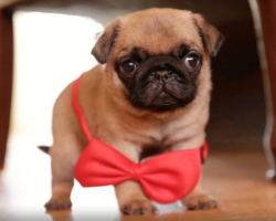 This Pug Puppy Have Gone Dapper, and It's EPIC!