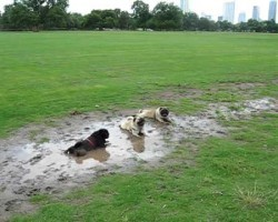Adorable Pugs Decides To Test Dog Park's Main Attraction, The Mud Pit! Owner's Reaction? Hilarious!