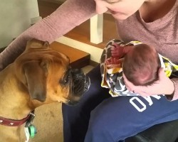 Boxer Meets Newborn Baby For The Very First Time, And It's The Sweetest Thing Ever!