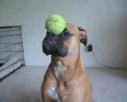 Look What This Adorable Boxer Puppy Learned To Do In 5 MINUTES.