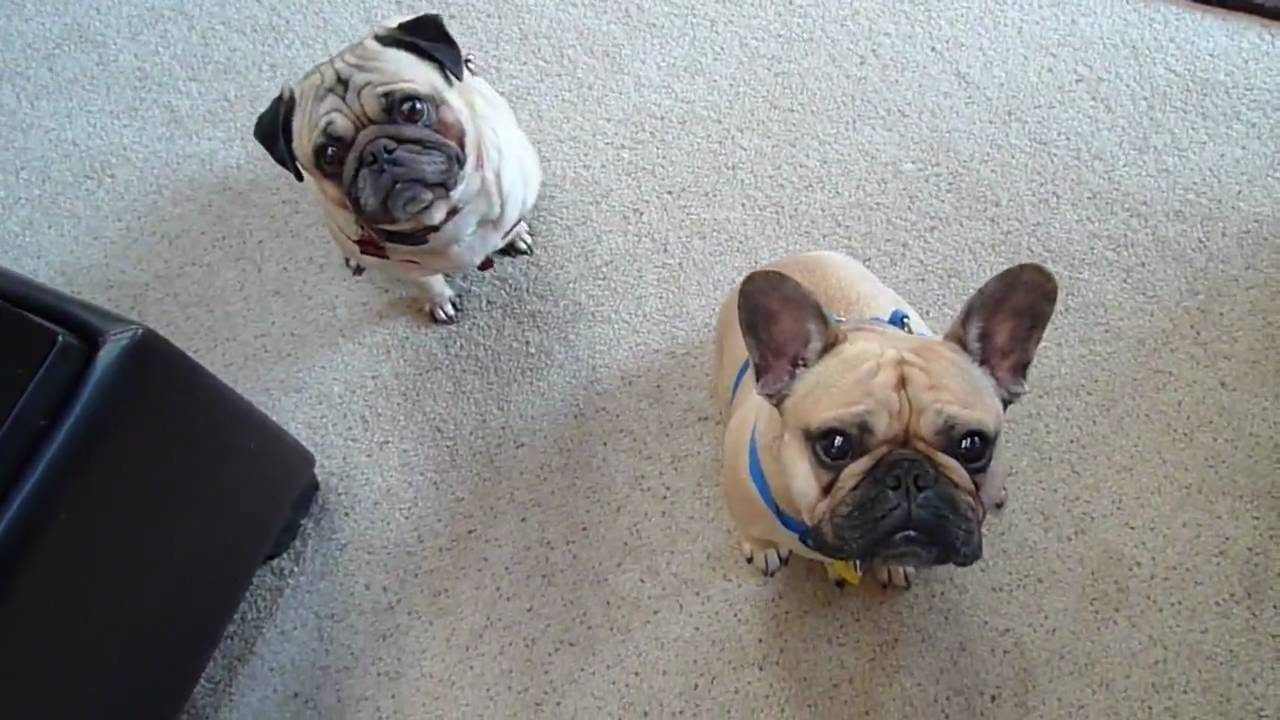 Pug and French Bulldog Look PERPETUALLY Perplexed, and ...
