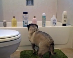 Cute Pug Attacks Shampoo Bottles and Shows 'em Who's Boss