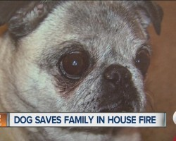 Pug Is Being Called A Hero For Saving Family In House Fire