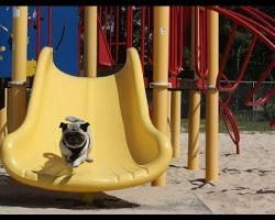 Pugs Are Always Funny, But Watching Them Playing On Slides Like THIS… It's Just HILARIOUS!