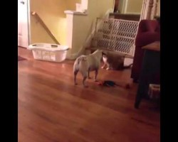 This Pug Knows How To Shuffle, And It's Awesome
