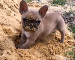 This French Bulldog Puppy Playing In The Sand Is The Cutest Thing Ever!