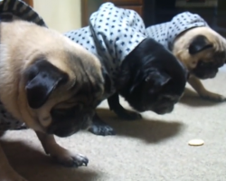 "Pug Trio In Matching Outfits Perform The ""Wait"" Trick In Perfect Unison, And It's So Darn Cute!"