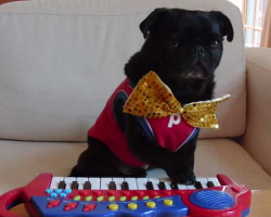 This Adorable Pug Playing Piano Is Unbearably Cute. Watch What Happens At 0:38 LOL!