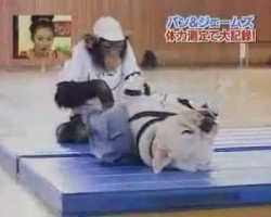 Bulldog and Chimpanzee Doing Sit-Ups Is The Most Adorable Thing Ever