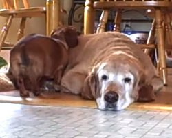 The Bond Between A Dachshund And A Golden Retriever Will Put A Smile On Your Face, Guaranteed!
