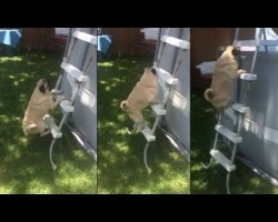 Determined Pug Climbs Ladder To Get In Pool