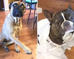"""French Bulldog Gets Snitched By His Bullmastiff """"Best Friend"""""""