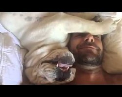 Grumpy Bulldog Has A Lot To Say When Woken Up! It May Just Be The Funniest Thing EVER!