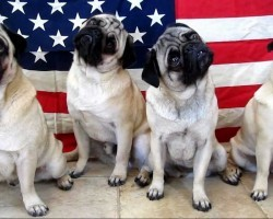 I Can't Stop Watching These Patriotic Pugs. You Won't Believe What They Do!