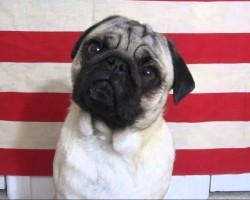 Patton Pug Max Does His Best George C Scott