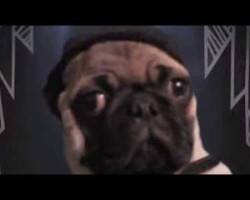 "Pug Reveals His Daily Struggles With A Nasty Habit In This Hilarious Lady Gaga Parody, ""My Paws"""