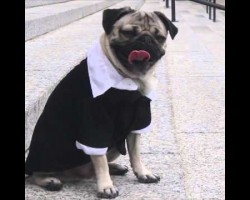 Doug the Pug starring in Law and Order PUG Will Make Your Day